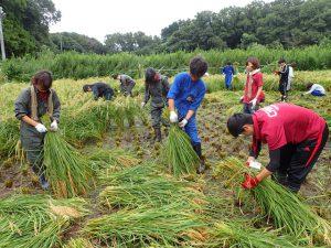 稲刈り大学生